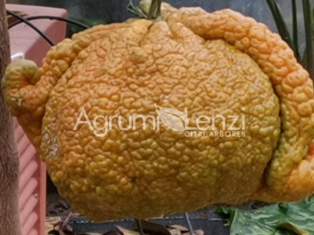 mandarino king 1