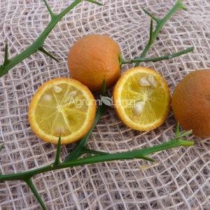 mandarino-sunki11012014-010