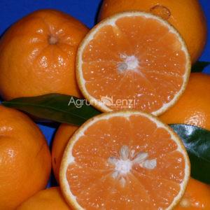 mapo-citrus-deliciosa-x-citrus-paradisi-copia