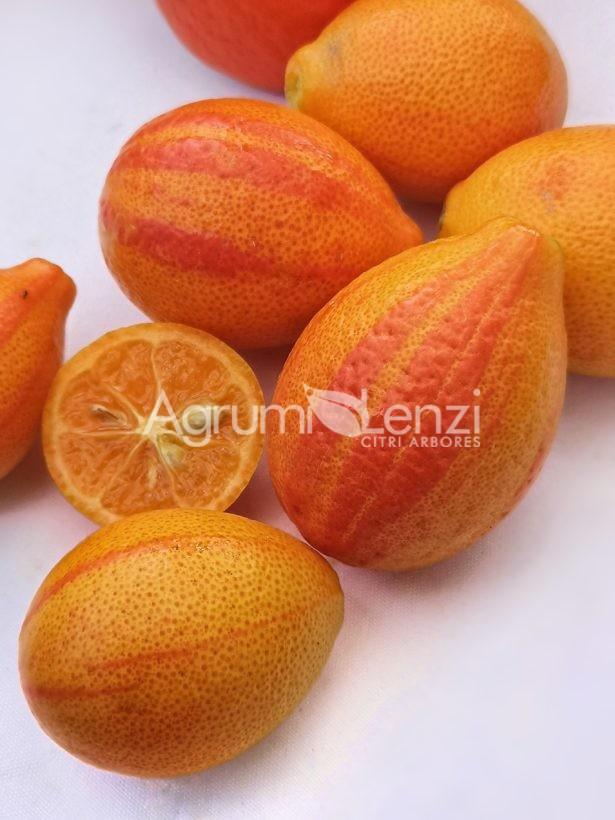 Orangequat variegato