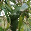 Pianta di Microcitrus Papuana