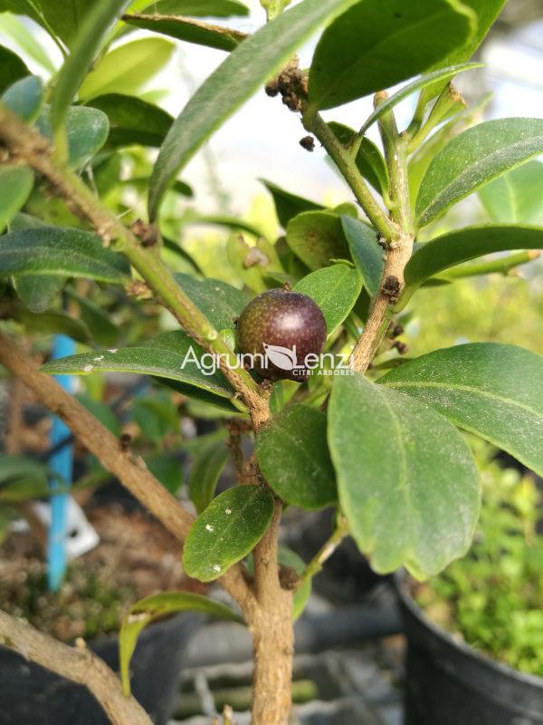 Severinia Buxifolia