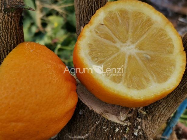 limone volkameriano