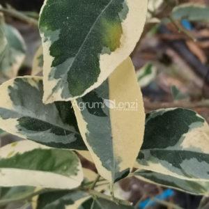 limone volkameriano variegato