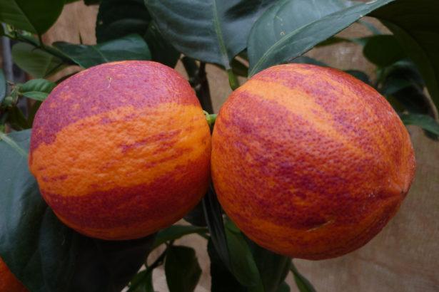 Arancio Doppio sanguigno x Limone Meyer