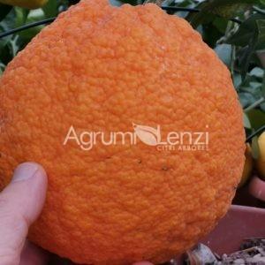 Arancio staccia