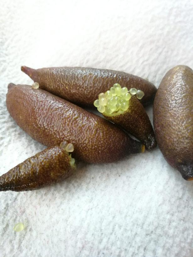 Fingerlime Verde