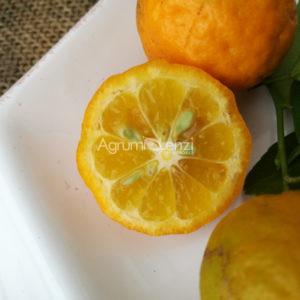 Citrangequat 4 Season