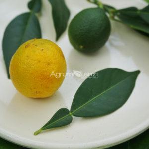 Ichangquat
