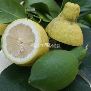 Limone Lunario a frutto grande