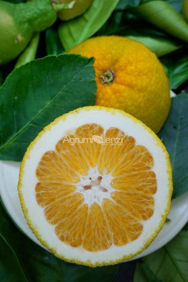 Arancio Tarocco x Clementino