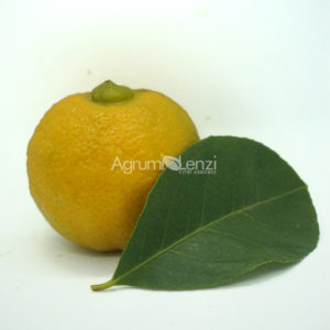 Pomona Sweet Lemon