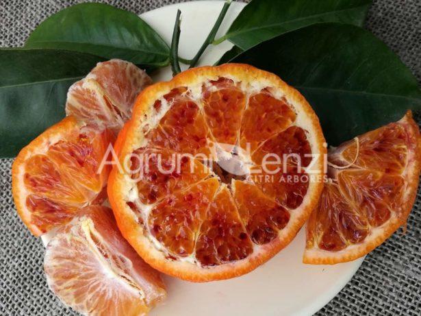 Arancio Tarocco Sciara x Clementino